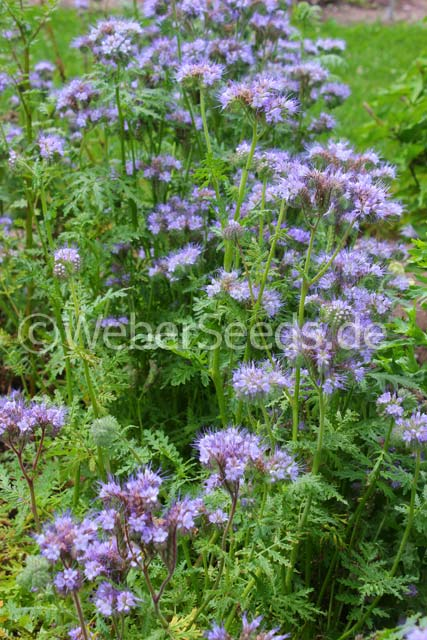 phacelia tanacetifolia rainfarn phazelie saatgut samen. Black Bedroom Furniture Sets. Home Design Ideas