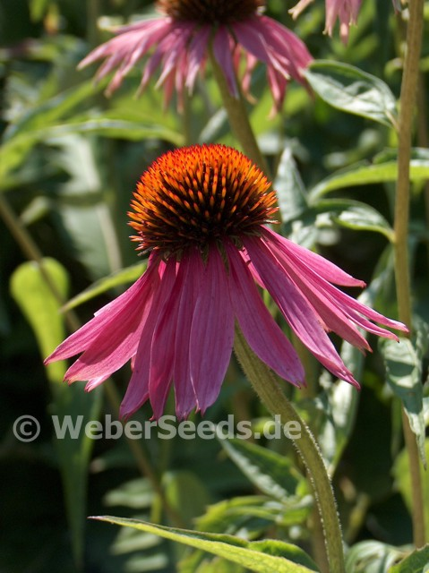 echinacea purpurea roter sonnenhut saatgut samen. Black Bedroom Furniture Sets. Home Design Ideas