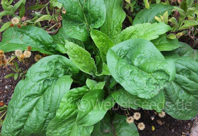 5 Samen der Alraune Mandragora officinarum Alraunwurzel