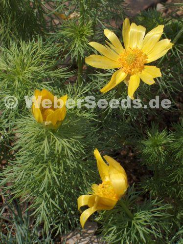 warzige berberitze berberis verruculosa
