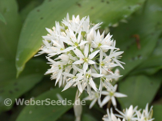 allium ursinum ramsons buckrams seeds plants dried. Black Bedroom Furniture Sets. Home Design Ideas