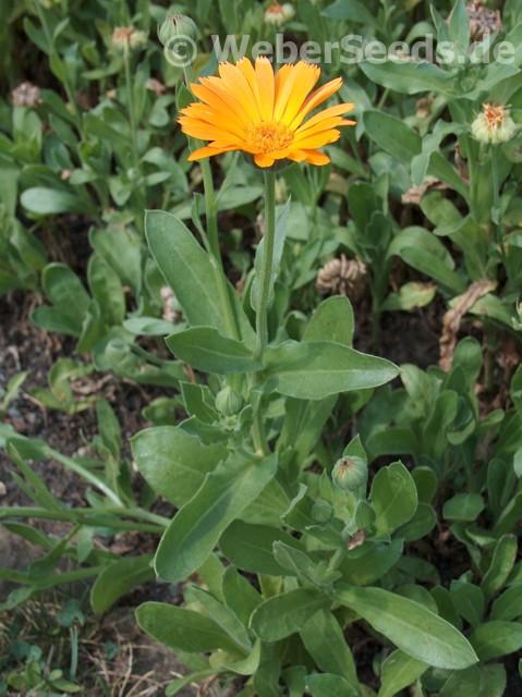 calendula officinalis pot marigold seeds plants dried herbs. Black Bedroom Furniture Sets. Home Design Ideas