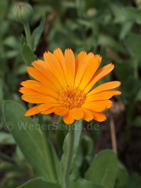 calendula officinalis pot marigold seeds plants. Black Bedroom Furniture Sets. Home Design Ideas