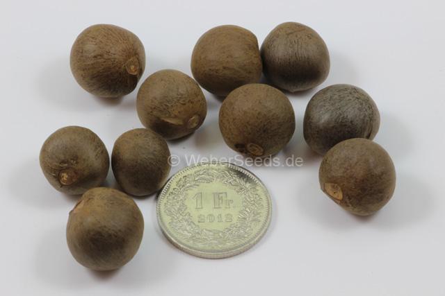 Camellia Sinensis Tea Plant Tea Tree Seeds Plants