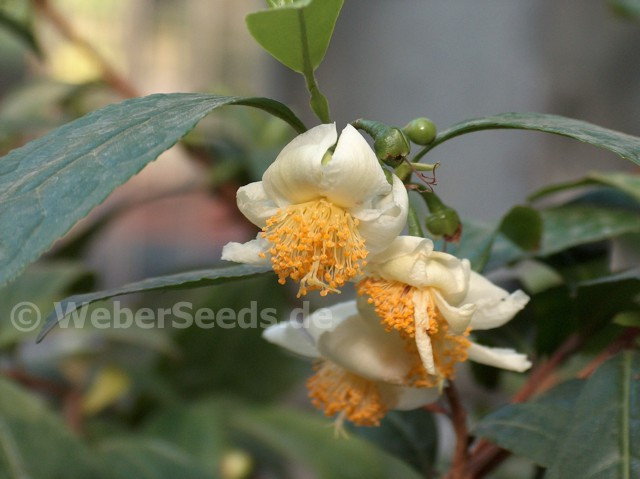 Camellia Sinensis Tea Plant Tea Tree Seeds Plants