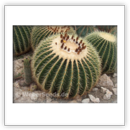 how to grow golden barrel cactus from seeds