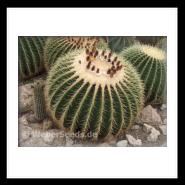 how to grow golden barrel cactus from seeds