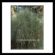 Ephedra seeds, Ma huang, Mormon-tea - Seeds - plants - dried