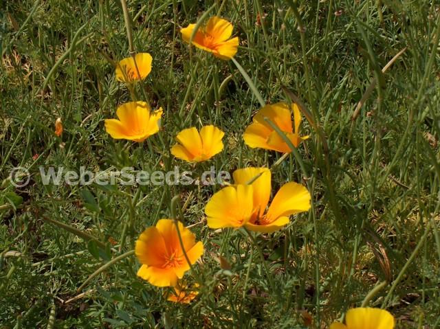 1000 seeds of Eschscholzia californica, California poppy