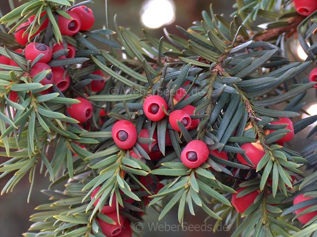 taxus baccata european yew seeds plants dried herbs