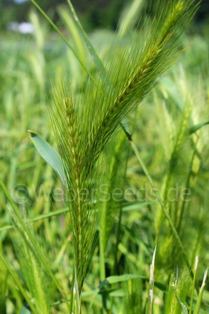Hordeum Murinum  Wall Barley - Seeds - Plants