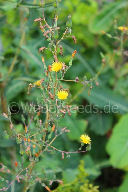 Lactuca Virosa Wild Lettuce Seeds Plants Dried Herbs
