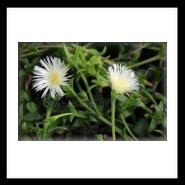 Sceletium tortuosum, Kanna, Channa, Kougoed - Seeds - plants